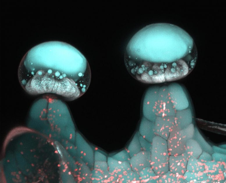 Multi-Photon Microscopy Image of Stalked Glandular Trichome