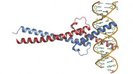 Myc DNA Complex, New Research Targets Myc-Driven Cancers