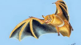 Myotis nimbaensis Illustration