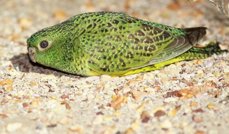 Mysterious Australian Night Parrot