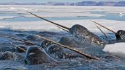 Narwhals With Spiraled Tusks