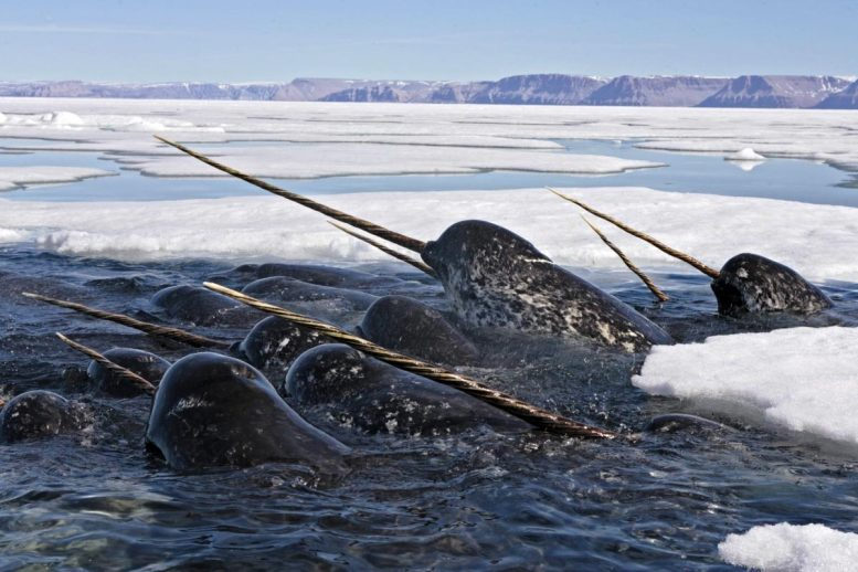 Narwhals in Dense Pack Ice