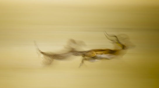National Geographic Photo Contest, Cheetah on the Hunt