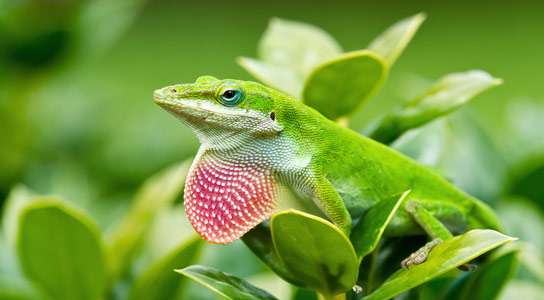 Native Lizards Show Rapid Fire Evolution