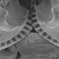 Natural Example of a Functioning Gear Mechanism Discovered in an Insect