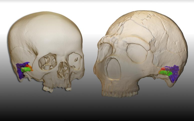 Neanderthal and Modern Human Cranium and Ear