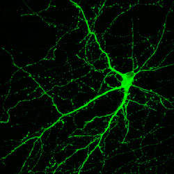 Neural Cells Derived from a Monkeys Skin Are Turned into Several Types of Mature Brain Cells