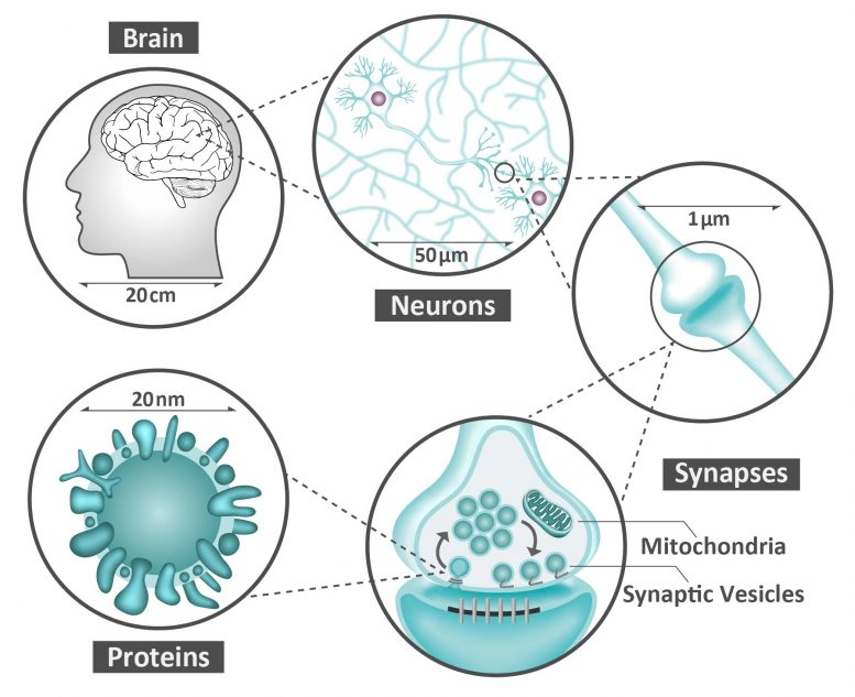 Neurons, Synapses and Proteins