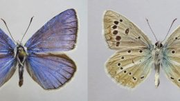 New Butterfly Species Discovered in European Russia