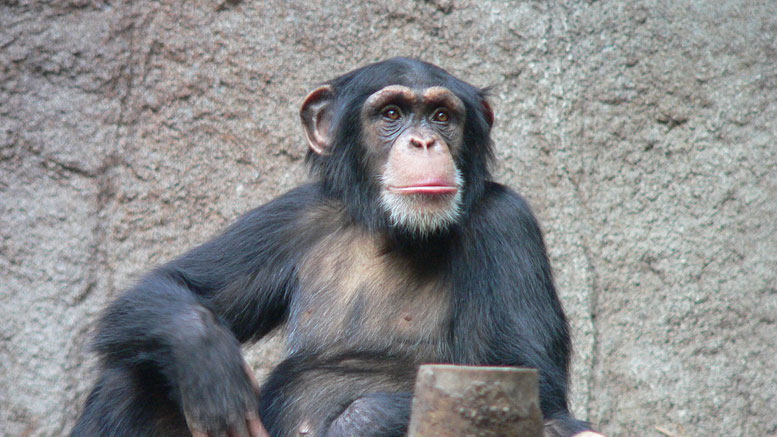 New Chimp Research Sheds Light on Human Evolution