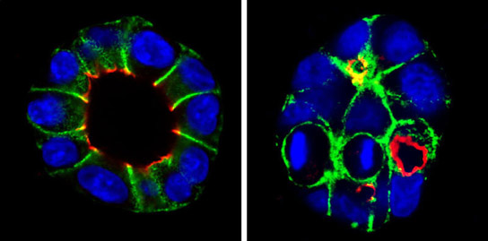 New Findings May Help Improve the Regeneration of Damaged Organs