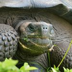 New Galapagos Giant Tortoise Species