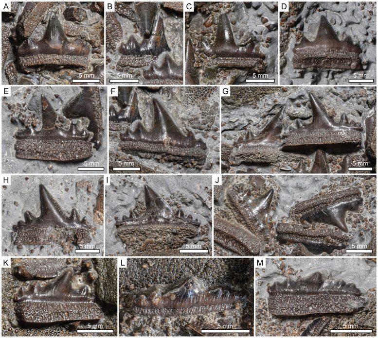 New Hybodontiform Shark Durnonovariaodus Maiseyi Teeth