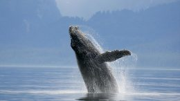 New Insights in Whale Evolutionary History
