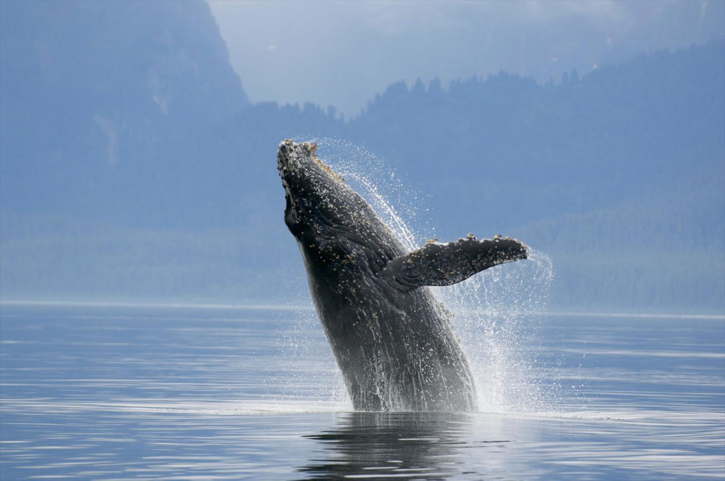 origination and characteristics of the humpback whale Humpback whale sounds  humpback whales are rorquals and are found in all parts of the ocean  repeating sequences with the characteristics of song (see.
