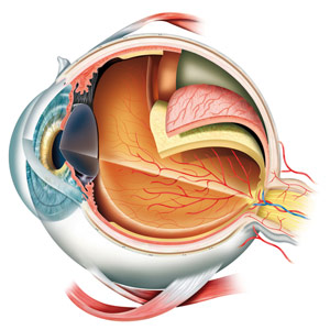 New Layer of the Human Cornea Discovered