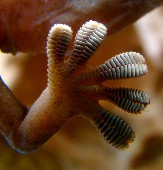 New Model Reveals How Geckos Cling to Objects