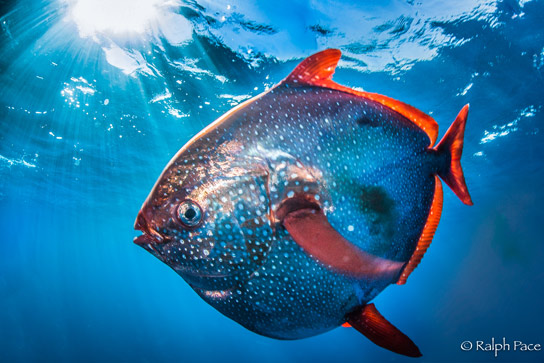 New Research Reveals Opah as the First Warm-Blooded Fish