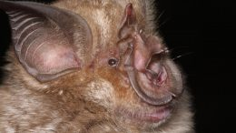 New Species Horseshoe Bat