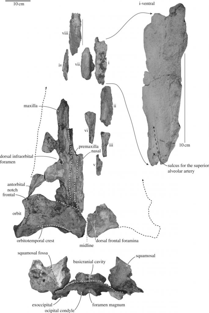 New Species of Ancient Whale Revealed