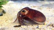 New Squid Euprymna brenneri