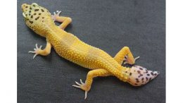 New Study Identifies Cells Driving Gecko's Ability to Regrow Its Tail