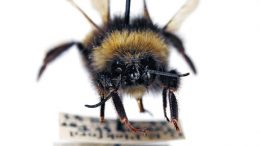 New Yale Study Tracks the Impact of Climate Change on Bumblebees