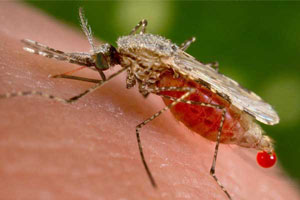 New breed of mosquitoes can't transmit malaria