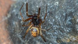 Nobel False Widow Spider