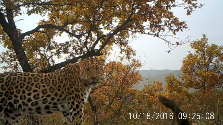 North Chinese Leopard in Loess Plateu