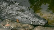 Nuclear Plant Helps Save Endangered Florida Crocodiles