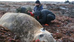 Ocean warming causes elephant seals to dive deeper