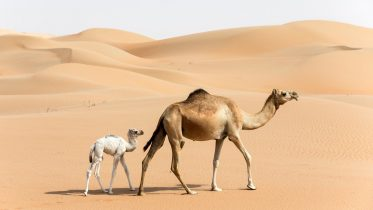 Coping With Extremes: How the One-Humped Arabian Camel Survives Without Drinking