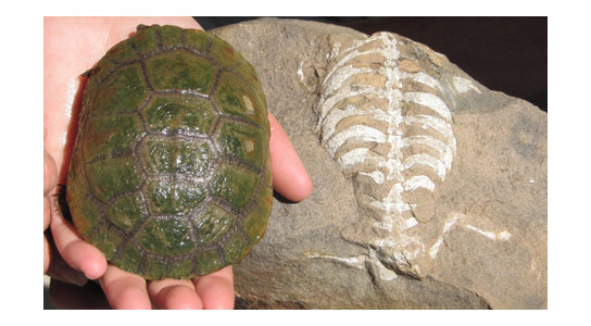 Origin of the Turtle Shell