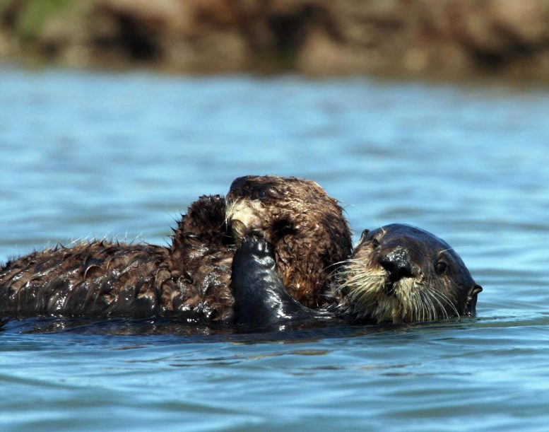 Otter 327 in Elkhorn Slough with Wild-Born Pup of Her Own