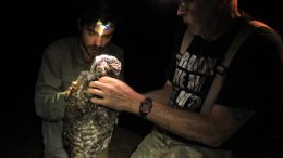 Owl Being Fitted with GPS Tag