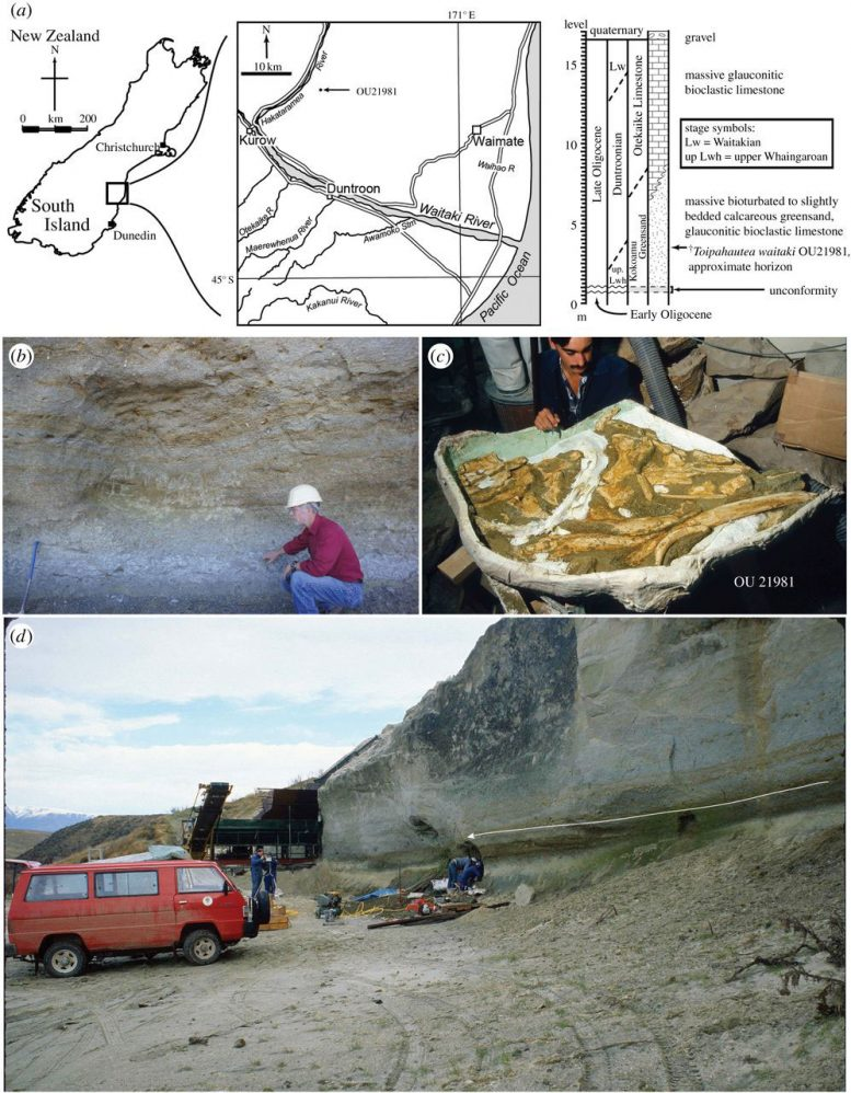 Paleontologists Identify New Species of Ancient Whale