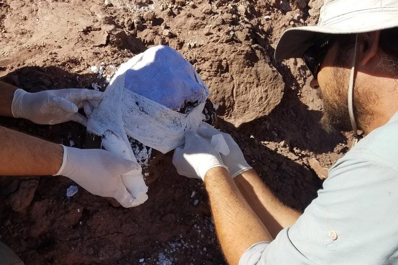 Paleontologists Wrapping Fossil Bone Fragments