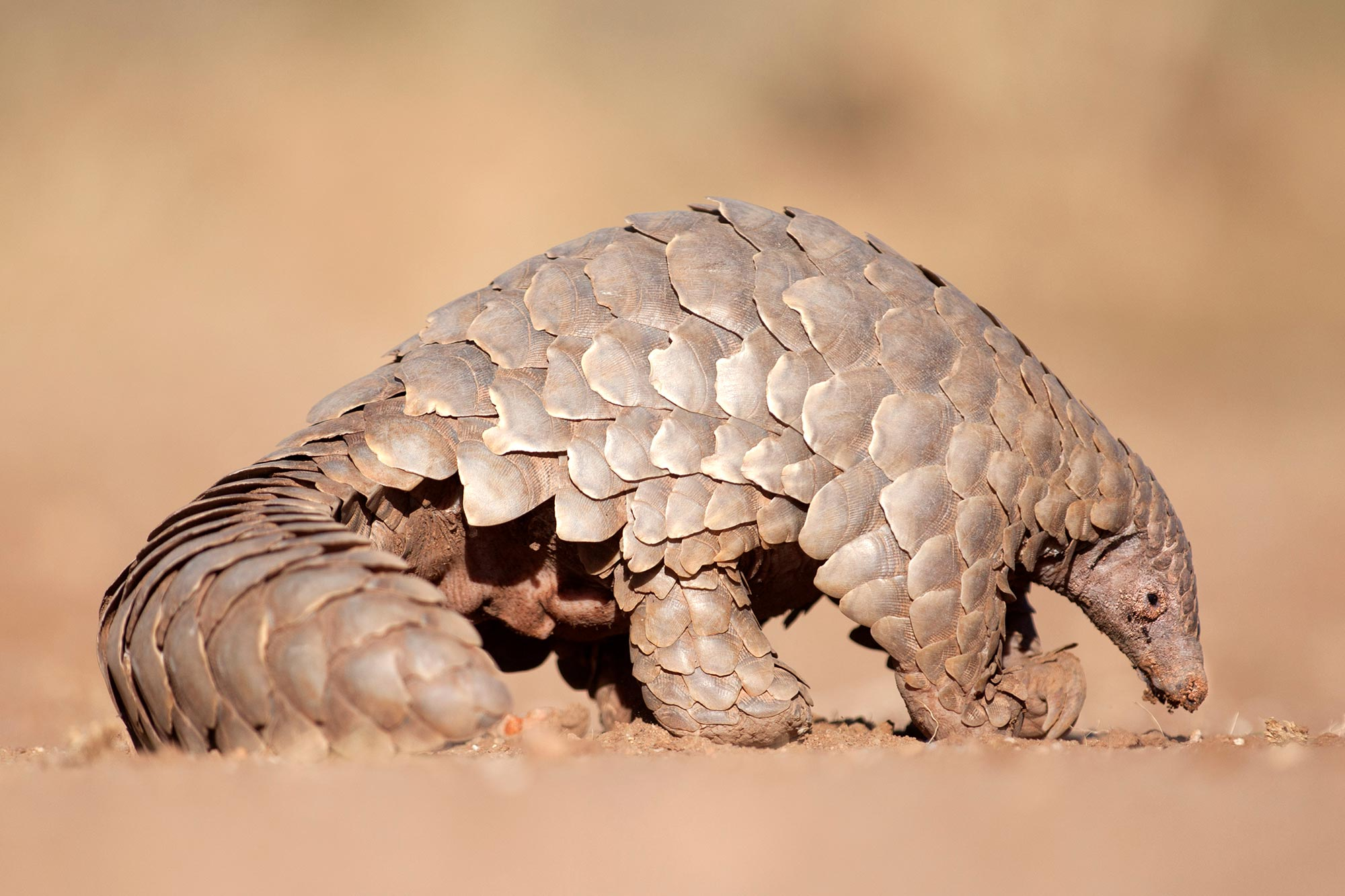 Pangolins should be considered possible hosts of coronavirus, scientists say