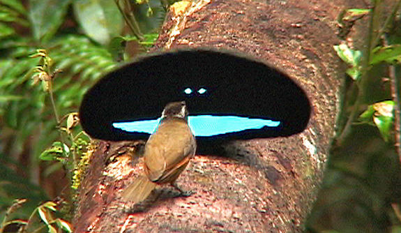 Paradise Riflebird Mating Display