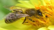 Parasitic Fly Could Be Responsible For Disappearing Honeybees