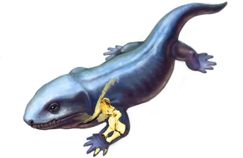 Pederpes Reconstruction