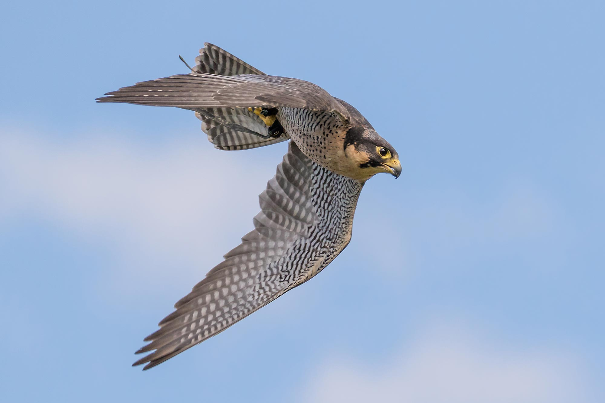 Falcons See Prey At Over 200 Mph Speed Of A Formula 1 Race Car