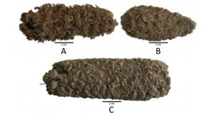 Peruvian Corn Cobs from 6,500-4,000 years ago