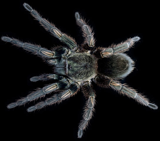 Yale Researchers Find Hope for Safe and Novel Painkillers from Tarantula Venom