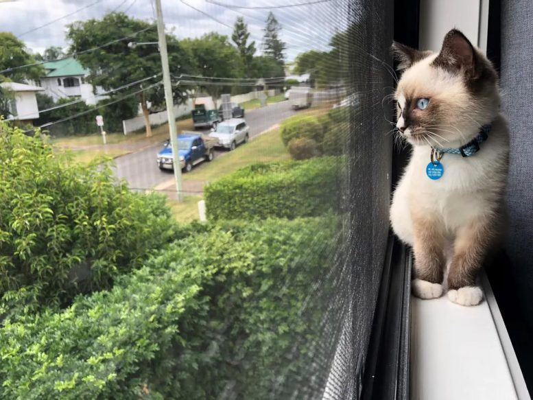 Pet Cat Looking Out Window