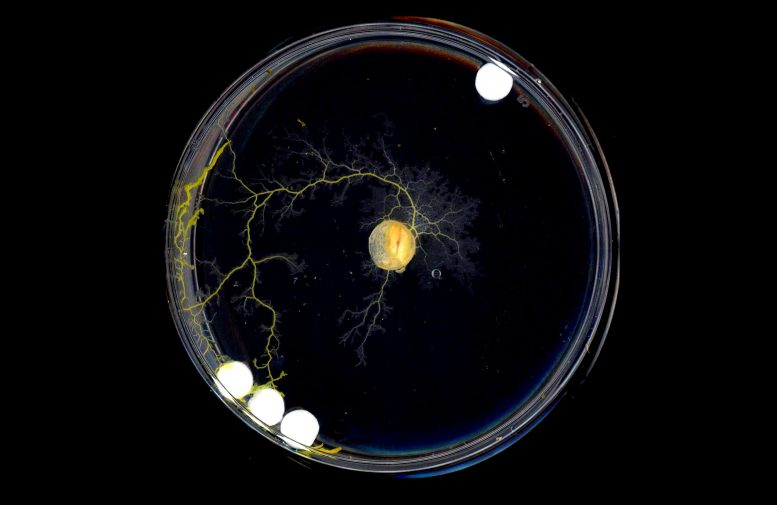 Physarum Spatial Decision Making Growth Towards 3 Discs