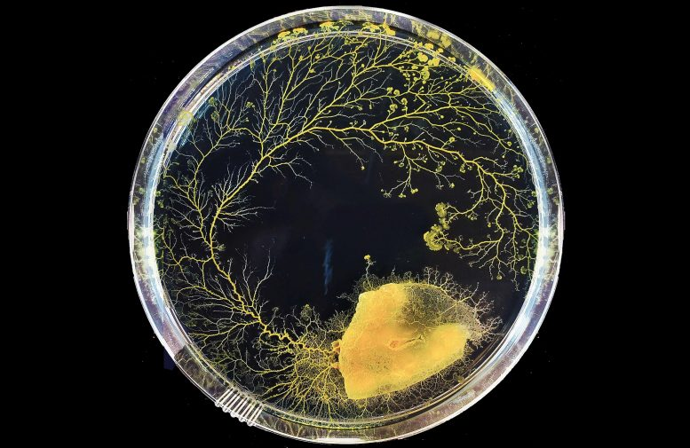 Physarum Spatial Decision Making Growth in Petri Dish