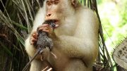 Pig-Tailed Macaque Consuming Rat