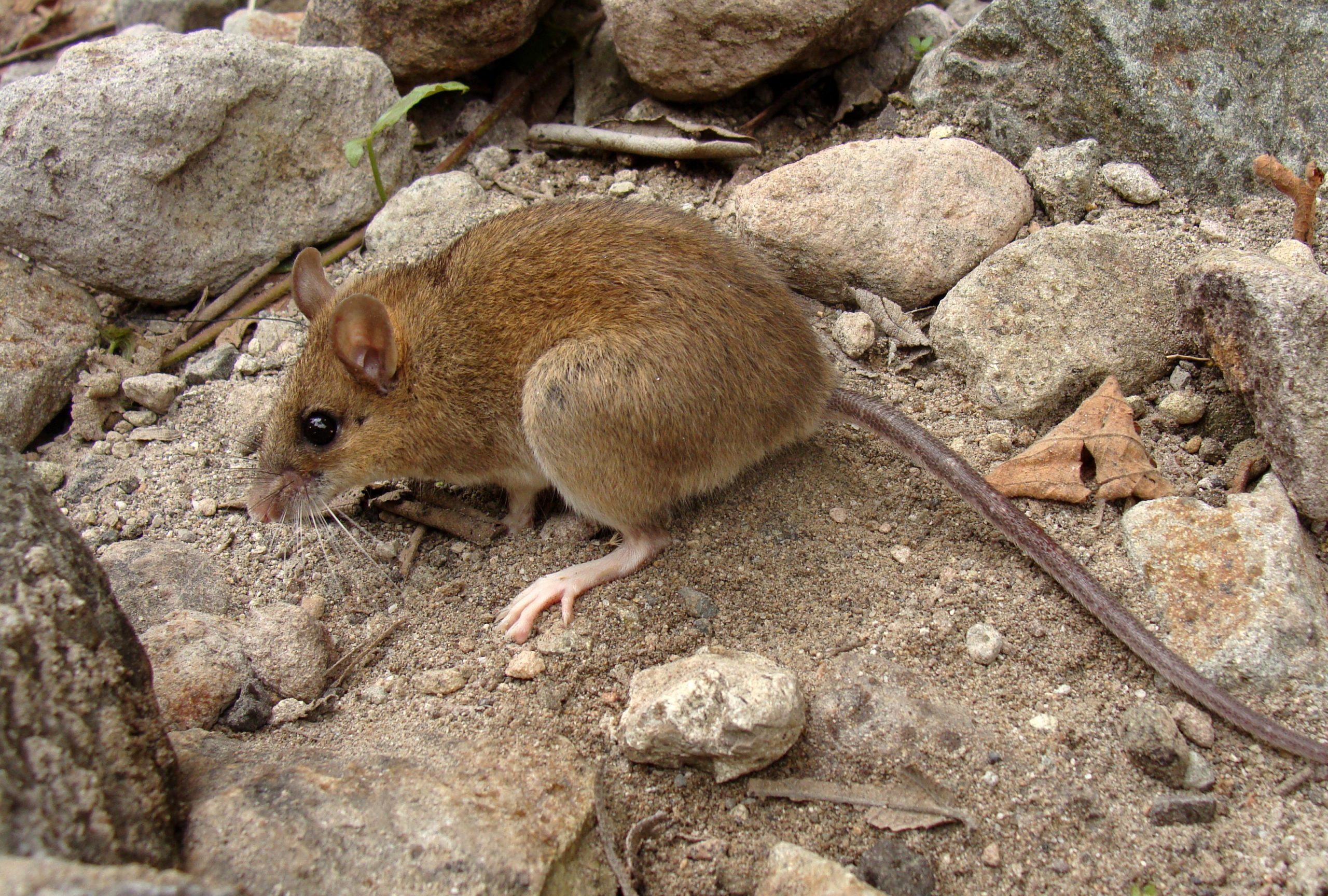 """""""Extinct"""" Pinatubo Volcano Mouse Rediscovered on Volcano That Erupted 30 Years Ago"""